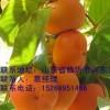 柿子苗大量供应,柿子苗大量批发,柿子苗最低价格