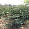 高产花椒苗品种 狮子头花椒苗价格
