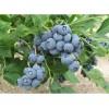 去哪里买蓝莓苗 找泰安老季