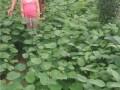 紫荆种子、紫荆苗