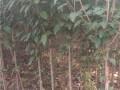 木槿苗、木槿树苗