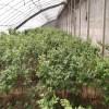 兔眼蓝莓苗种植技术