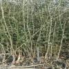 优质枳壳苗价格  脱毒枳壳苗价格 无病虫害枳壳苗价格