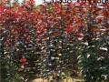 2016年红叶李树苗价格