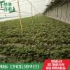 草莓苗全新种植培育草莓苗基地价格