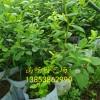 蓝莓苗亩产是多少 蓝莓苗一亩地种多少