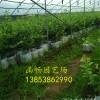 供应 营养杯蓝莓苗 蓝莓苗大苗品种齐全 价格便宜