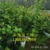 蓝莓苗哪里好 蓝莓苗价格 蓝莓苗基地
