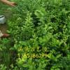 组培蓝莓苗批发 大杯蓝莓苗 蓝莓苗基地直销