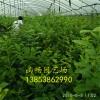 哪里蓝莓苗最便宜 哪里蓝莓苗最好 哪里蓝莓苗亩产量高