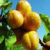 山杏树苗价格    哪家杏树苗货源好