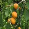 優質金太陽杏樹苗貨源地價格