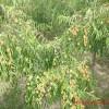 枣树苗的批发价格