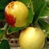 冬枣枣树苗的批发价格