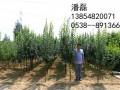 山东西府海棠树苗 (2图)
