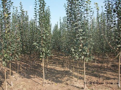 3公分西府海棠树苗价格图片|苗木|苗木图库|597苗木网