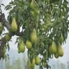 2公分黄金梨苗的基地价格