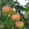 2公分丰水梨树苗的批发价格