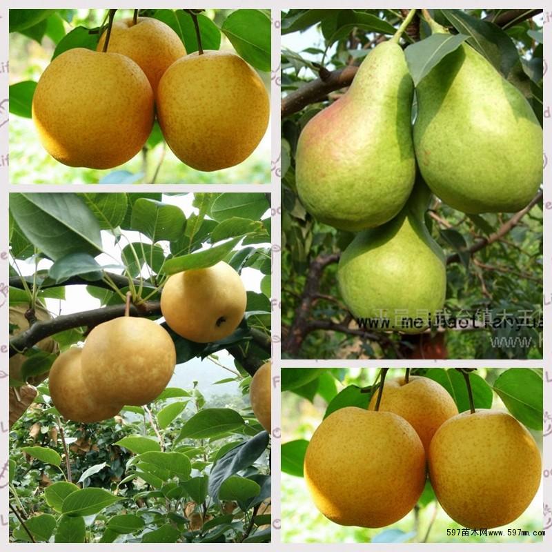 当前,梨树主要病虫害有:梨大食心虫,蚜虫,红蜘蛛,梨木虱,蝽象,潜叶