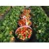 那个草莓苗品种好 红颜草莓苗种苗