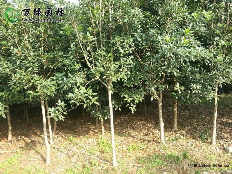 【生长习性】   桂花树四季常绿乔木,属短日照植物,适合全国多地区
