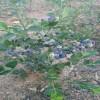 基地直銷粉藍藍莓苗價格