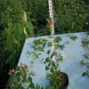 兔眼藍莓苗基地價格