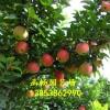 美国八号苹果苗/美国八号苹果苗多少钱/苹果苗价格