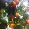 金太阳杏树苗价格/山东杏树苗价格/1、2、3公分杏树苗价格