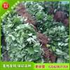 山东草莓苗基地 红颜草莓苗怎么样 四叶一心草莓苗