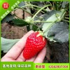 泰安草莓苗基地 草莓苗品种 章姬草莓苗好