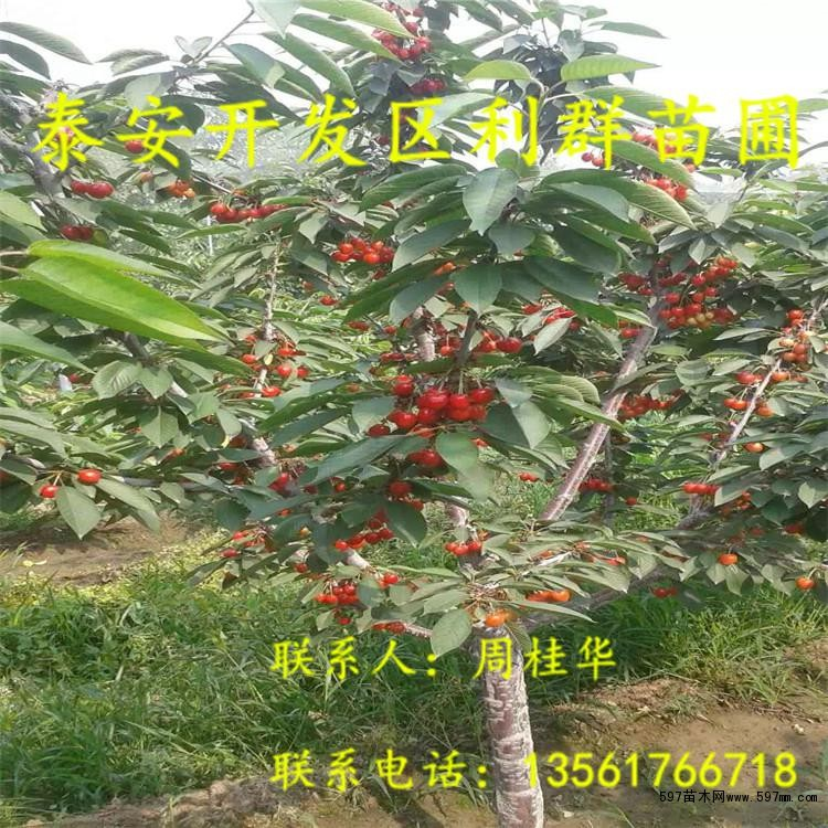 3公分大樱桃树苗