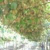 龍藏紅獼猴桃苗的基地價格