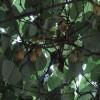 红阳猕猴桃苗的基地价格