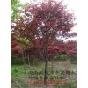 P2m7公分原生红枫、日本红枫、湖南红枫哪里价钱底