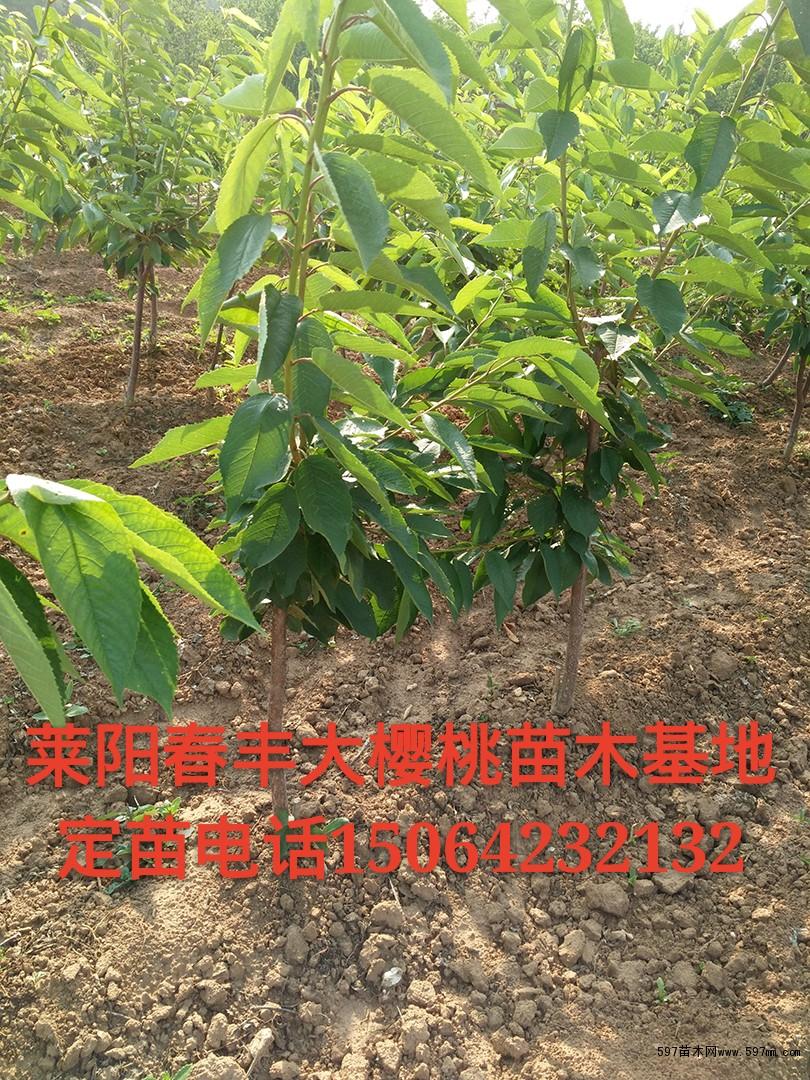 大樱桃苗品种 樱桃苗木求购 大樱桃苗 大樱桃树苗