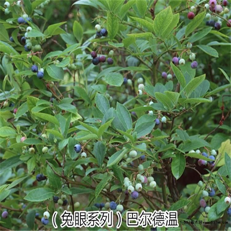 南方北方优质果树苗 可盆栽