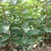 供应3公分合柿柿子苗的基地价格