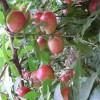 5公分富有柿子苗基地价格