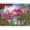 神富一号,美国八号,红富士等苹果苗供应,苹果苗最低价格