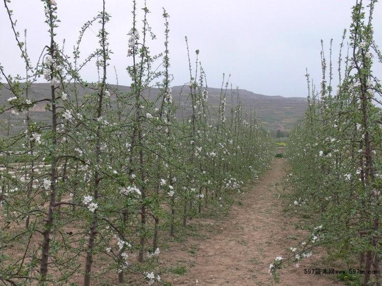 山东烟富3号苹果树苗