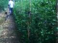 木槿苗价格