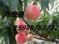 桃苗 桃树 2-8公分