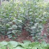 杏树苗批发  优质杏树苗货源地  杏树苗批发价格