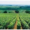 供应公酿葡萄苗