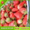 丰香草莓苗哪里有¥丰香草莓苗批发价格¥丰香草莓苗品种纯