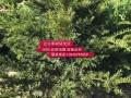 辽宁红豆杉树苗