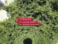 供应精品红豆杉树苗