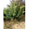 供应柿子树,大樱桃,山杏,山桃,梨树,核桃树,板栗树