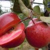 供应红肉苹果树苗,瑞士红色之爱红肉苹果苗、批发红肉苹果树苗